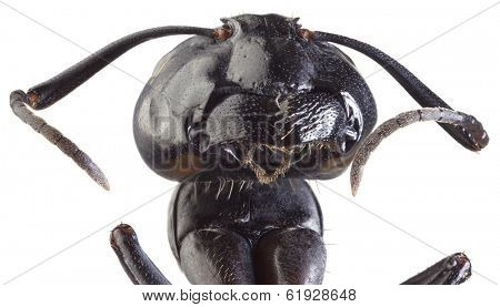 Low Scale Magnification of Black Ant