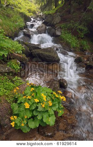 Yellow flowers Caltha palustris in a mountain stream. Forest landscape with a bush of flowers and a mountain stream. Carpathians, Ukraine
