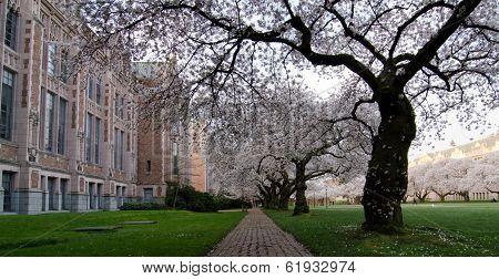 Brick Road Under Cherry Flowers