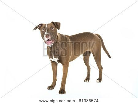 Standing Smiling Dog Isolated on White