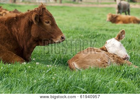 Red  Limousin Bull And Calf