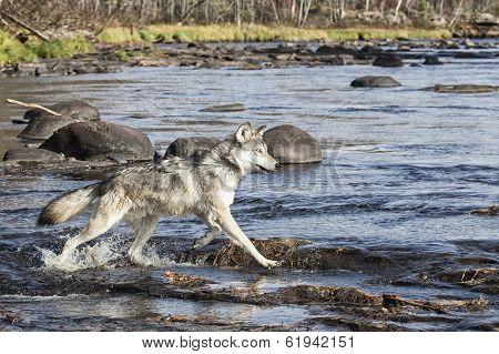 Wolf profile