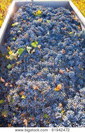 Mediterranean vineyard harvest   cabernet sauvignon grape field in Spain