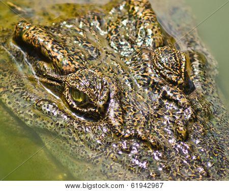 Crocodile Gazing Through Swamp Water