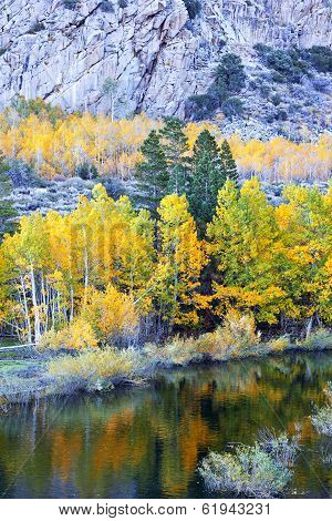 Aspens Beneath Granite
