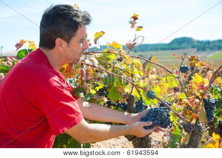 Winemaker harvesting Bobal grapes in mediterranean vineyard fields