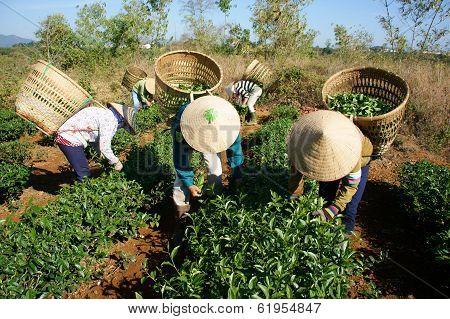 Tea Picker Pick Tea Leaf On Agricultural Plantation