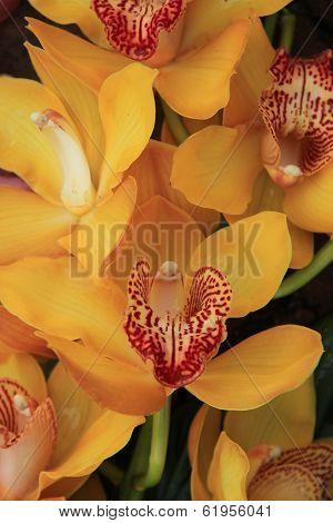 Yellow Cymbidium Orchids