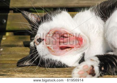 Cat Teeth