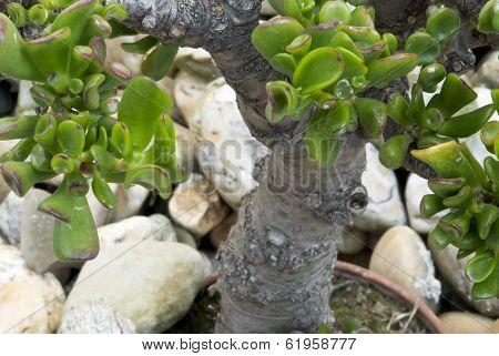 Jade Plant (crassula Ovata) In A Pot As Bonsai