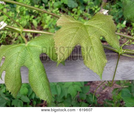 Large Leaves