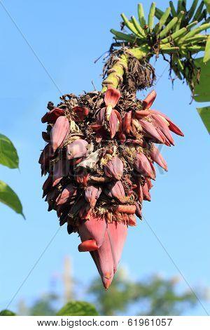 Exotic Banana Blossom