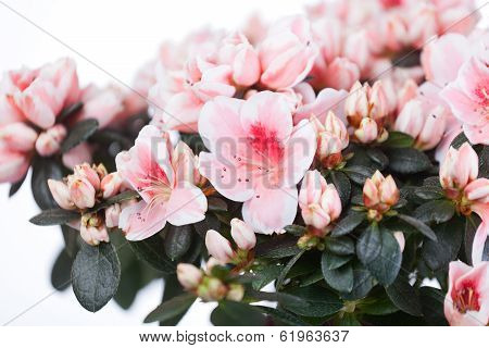 Blossoming cream-white azalea
