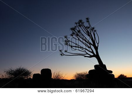 Desert sunrise with a silhouette of a quiver tree, Namibia, southern Africa