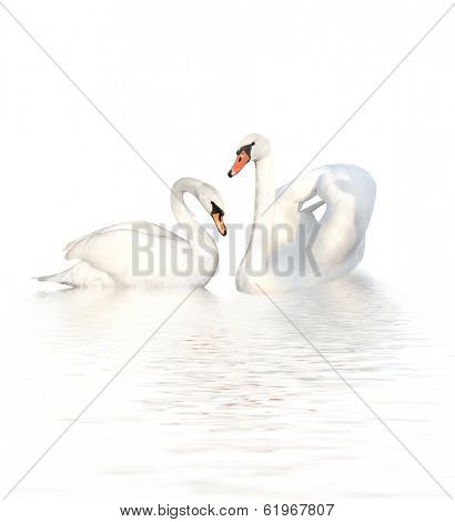Two white swans. Isolated on white background