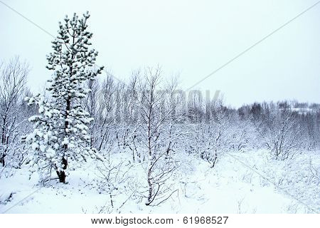 lone pine tree in winter forest