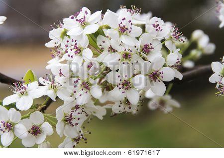 Bradford Pear Blossom