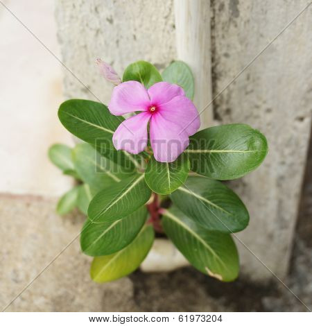Vinca Beside Pole