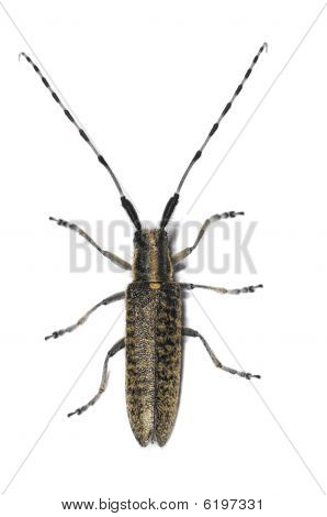 Longhorn Beetle Isolated On White