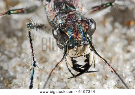 Cicindelid Beetle Portrait