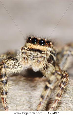 Salticid Spider