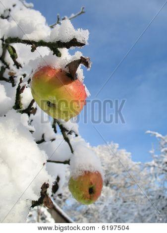 Winter Apple Vertical
