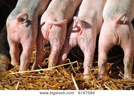 Four newborn piglet tails