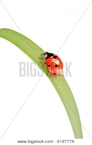 Ladybird walking on a leaf