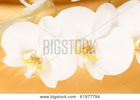 Phalaenopsis Aphrodite (moon Orchid)
