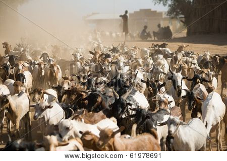 Herd Of Goats In The Dust