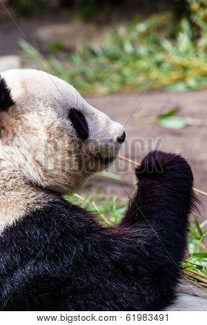 Giand Panda