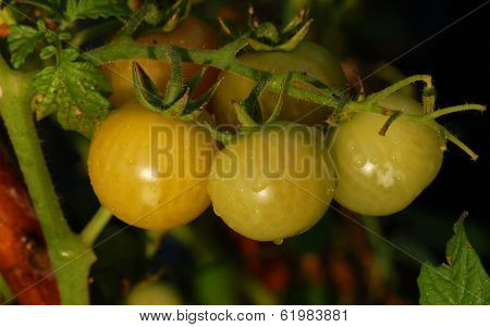 Threesome of green tomatoes
