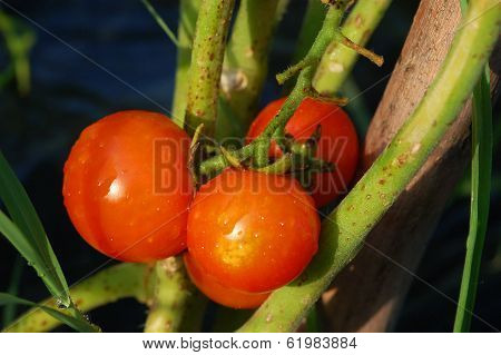 threesome of red tomatoes