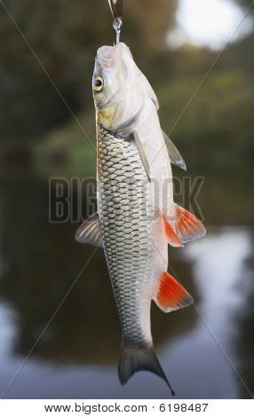 Chub Hanging On Hook