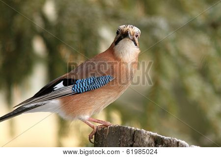 Eurasian Jay Looking Towards The Camera