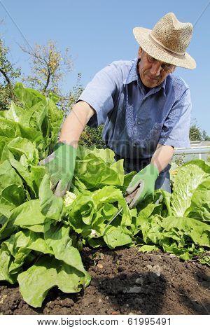 Gardener Harvesting Lettuce