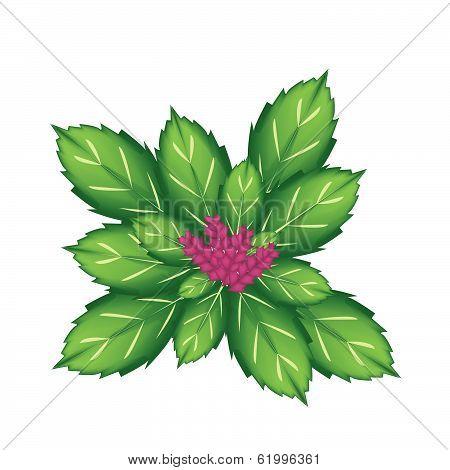 A Thai Basil Plant On White Background