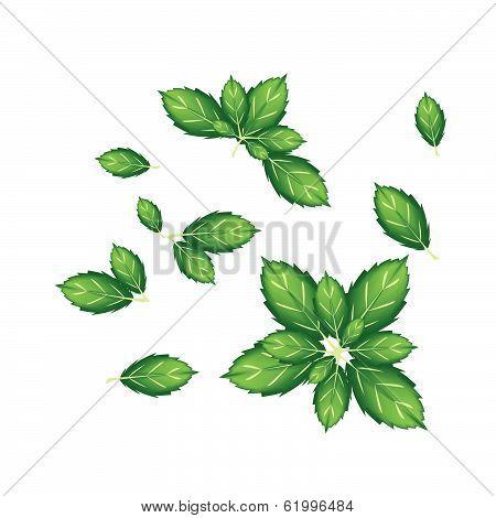 Set Of Thai Basil Leaves On White Background