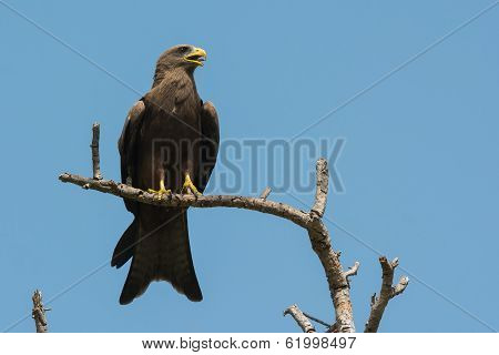 Black Kite (milvus Migrans) Crying With Tongue Showing