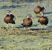 Black-bellied Whistling-ducks In Florida Wetlands