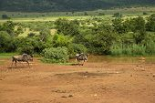 stock photo of wildebeest  - Blue Wildebeest walking towards the waterhole in Africa - JPG