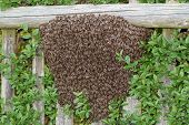 stock photo of swarm  - Honey bees swarm on bush in summer - JPG
