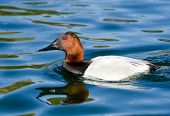 image of duck pond  - Male Canvasback duck swimming in a pond - JPG