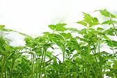 stock photo of tomato plant  - Young green tomatoes plants before planting in the soil - JPG