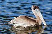 Brown Pelican Swimming