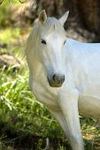 stock photo of white horse  - A white horse - JPG