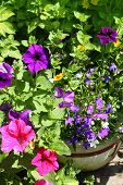 stock photo of lobelia  - Beautiful Petunia and Lobelia flowers growing in the garden - JPG