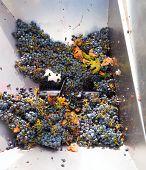 foto of crusher  - corkscrew crusher destemmer in winemaking with cabernet sauvignon grapes - JPG
