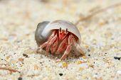 foto of hermit crab  - Hermit crab pagurian walk on sand beach - JPG