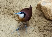 stock photo of sand lilies  - African jacana  - JPG